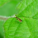 Image of Zeugloptera