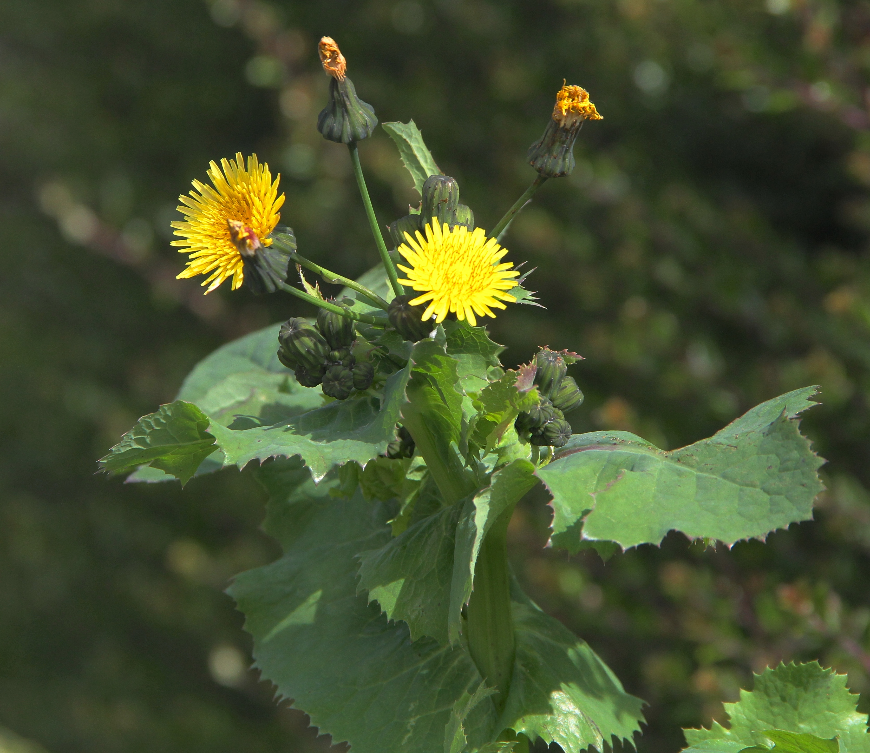 Image of sow-thistle