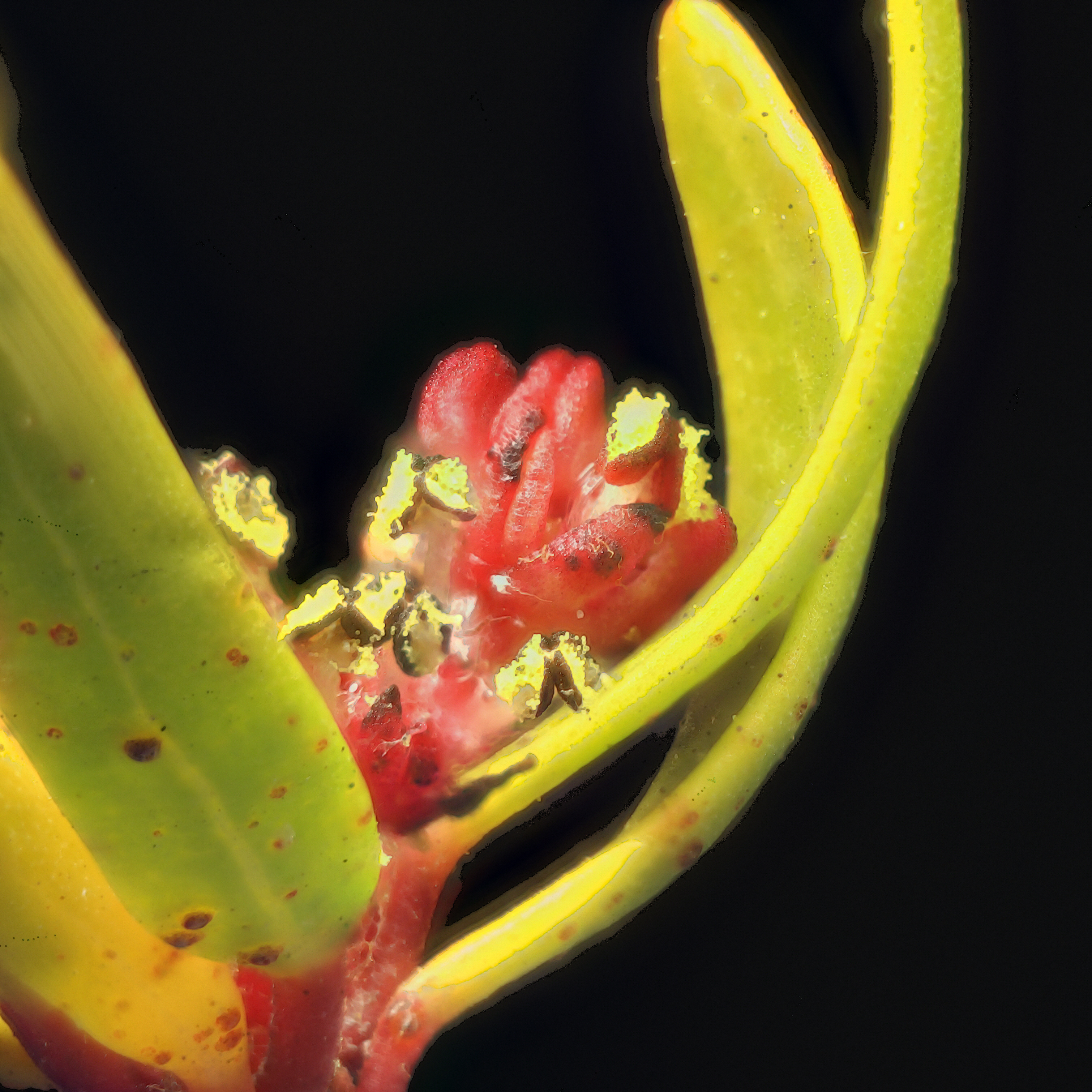 Image of red shrubby-spurge