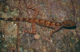 Image of Kendall's Rock Gecko