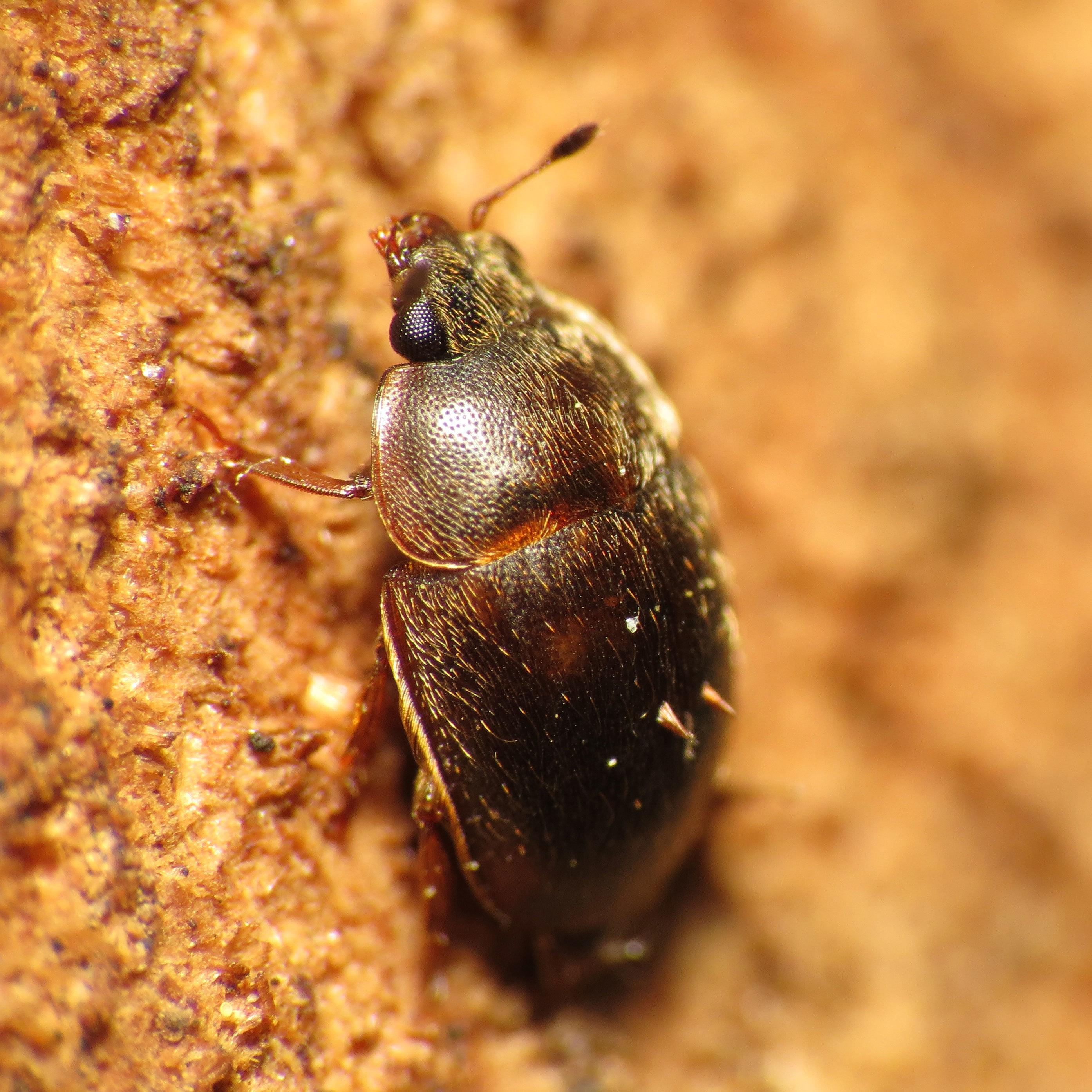 Image of <i>Amphicrossus ciliates</i>