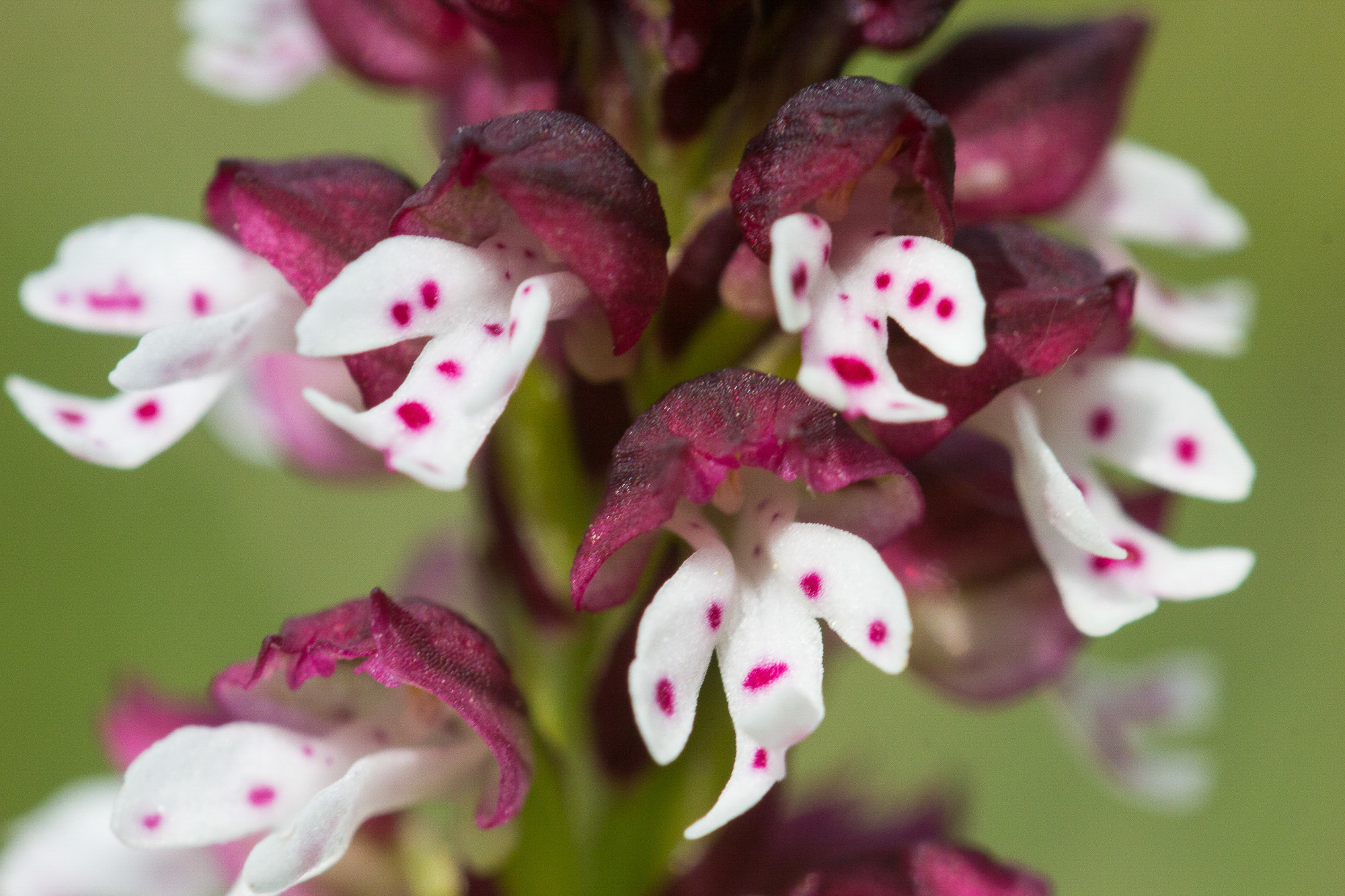 Image of Burnt orchid