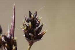 Image of <i>Luzula campestris</i> (L.) DC.