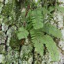 Image of plumed rockcap fern