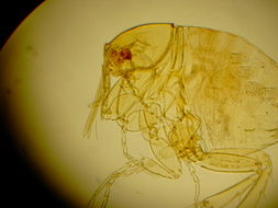 Image of Chigoe flea