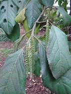 Image of <i>Calatola columbiana</i>