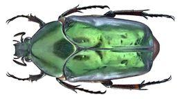 Image of <i>Agestrata <i>orichalca</i></i> ssp. orichalca