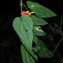 Image of <i>Anthurium clidemioides</i> Standl.
