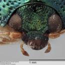 Image of <i>Chalcophyma fulgida</i>