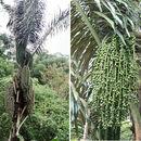 Image of sugar palm