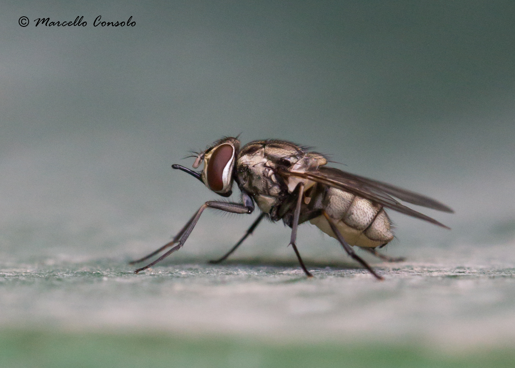 Image of Stable fly