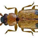 Image of silvanid flat bark beetles