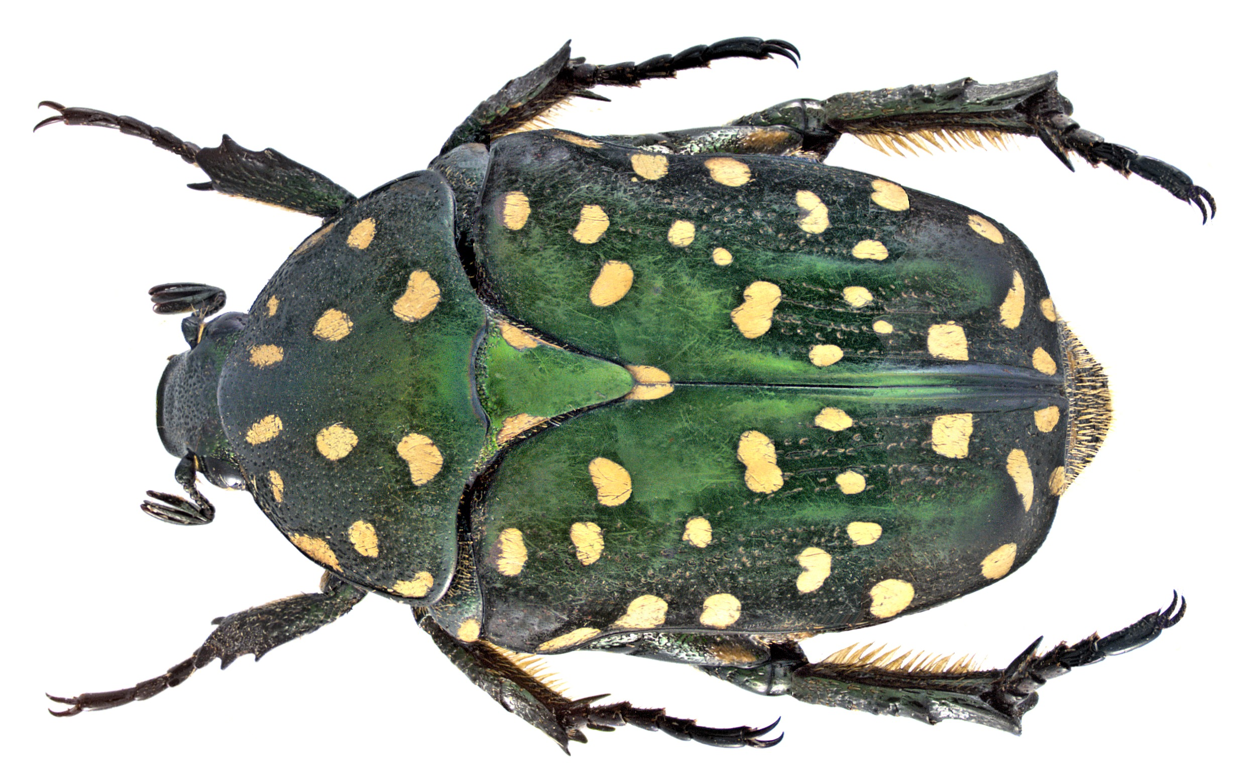 Image of <i>Protaetia</i> (<i>Acanthoprotaetia</i>) <i>niveoguttata</i> Janson 1876