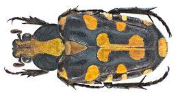 Image of <i>Ixorida mouhotii</i>