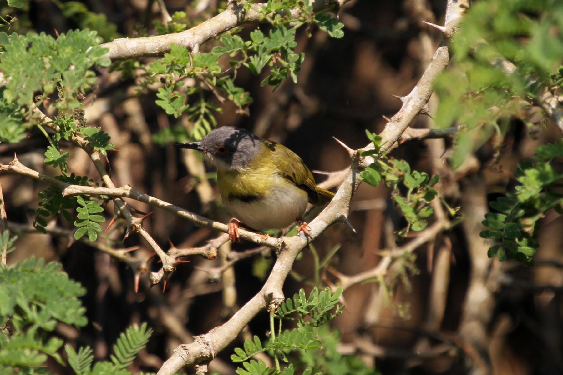 Image of Yellow-breasted Apalis
