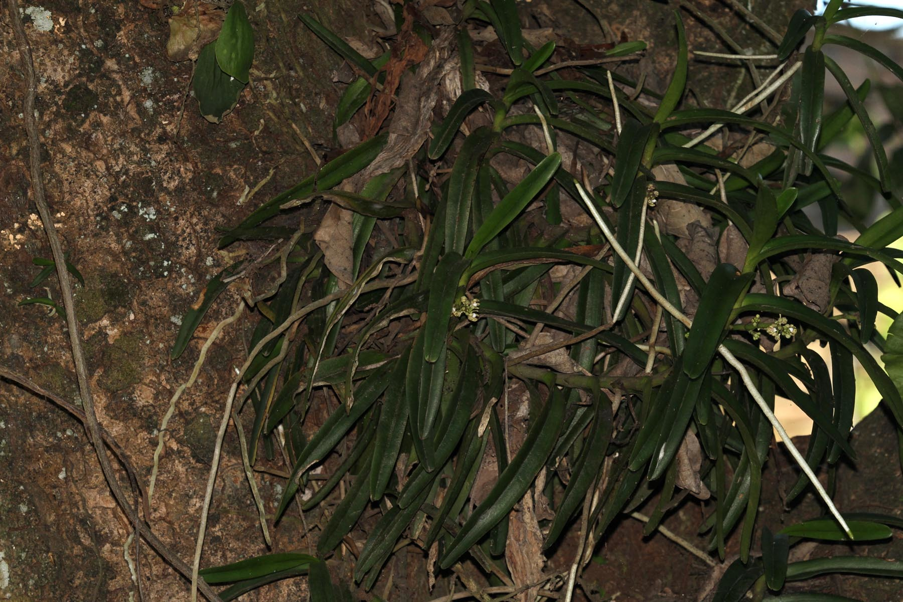 Image of <i>Acampe pachyglossa</i> Rchb. fil.