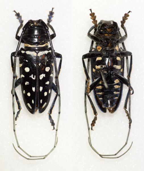 Image of <i>Sternotomis carbonaria</i> Aurivillius 1903