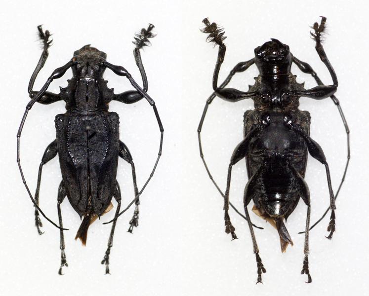 Image of <i>Steirastoma aethiops</i> Bates 1862