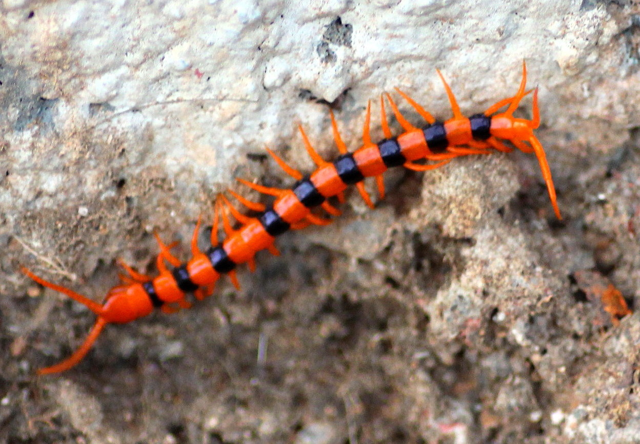 Image of Indian tiger centipede