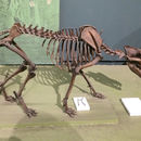 Image of Dire wolf