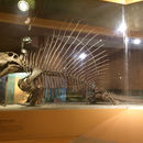 Image of <i>Dimetrodon grandis</i> (Case 1907)