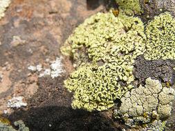 Image of <i>Acacrospora</i>
