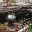 Image of dippers