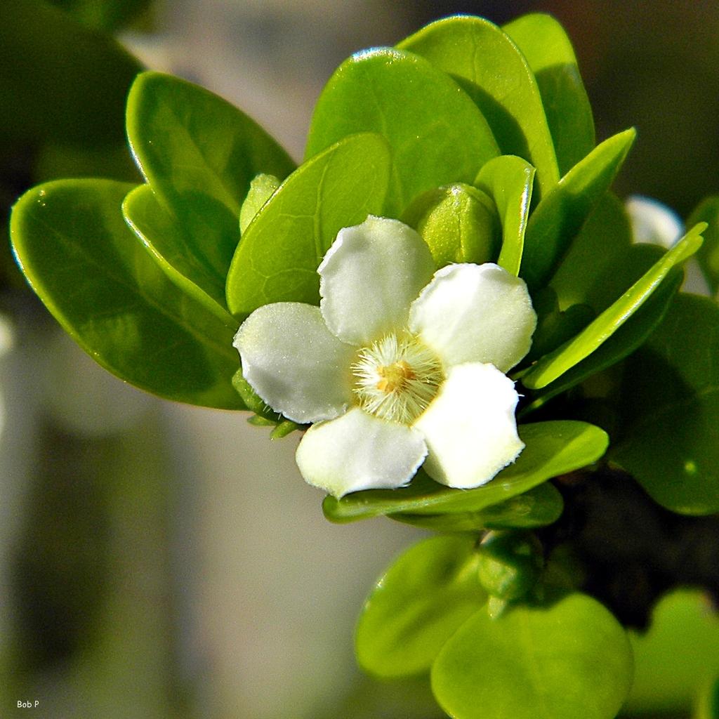 Image of white indigoberry