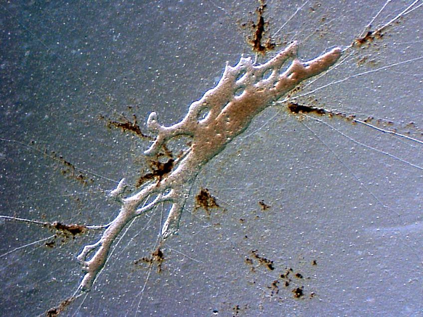 Image of <i>Dracomyxa pallida</i> Wylezich, Kaufmann, Marcuse & Huelsmann 2014