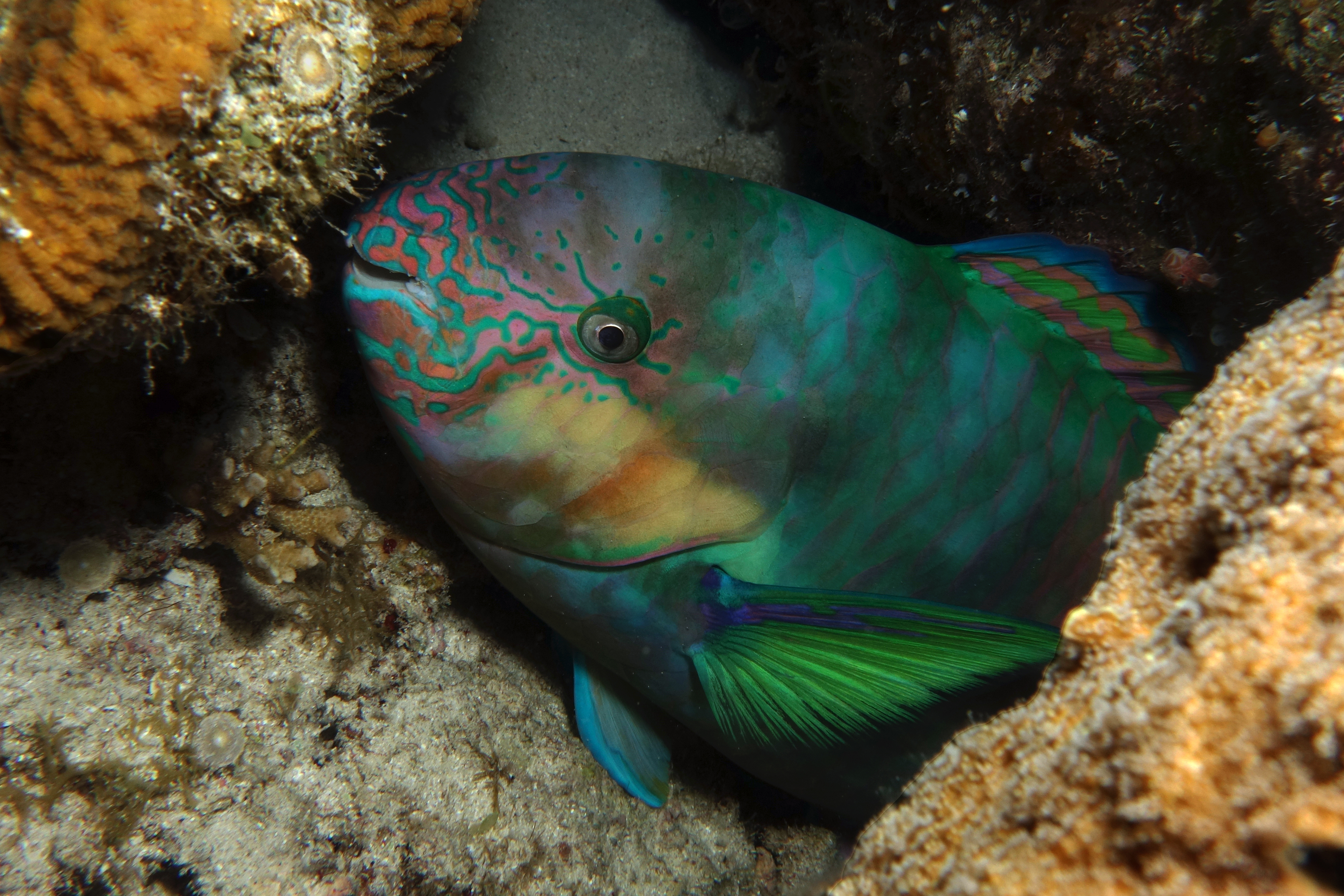 Image of Scribblefaced parrotfish