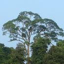 Image of <i>Koompassia excelsa</i> (Becc.) Taub.