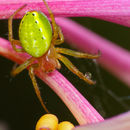 Image of Cucumber green spider