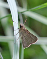 Image of Swarthy Skipper