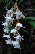Image of <i>Coelogyne papillosa</i> Ridl.