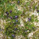 Image of <i>Coprosma moorei</i> F. Muell. ex Rodway