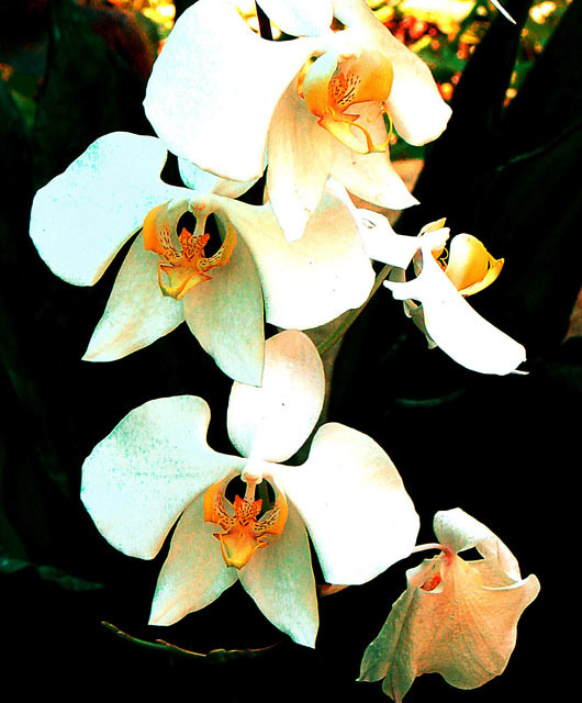 Image of Moth orchid