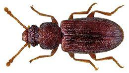 Image of <i>Berginus tamarisci</i> Wollaston 1854