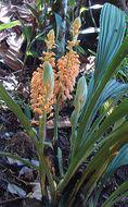 Image of <i>Calanthe pulchra</i> (Blume) Lindl.