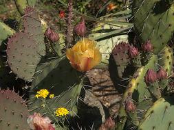 Image of <i>Opuntia occidentalis</i>