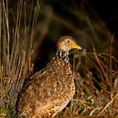 Image of plains-wanderer