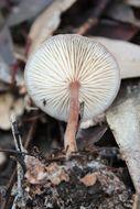 Image of <i>Rhodocollybia butyracea</i> (Bull.) Lennox 1979