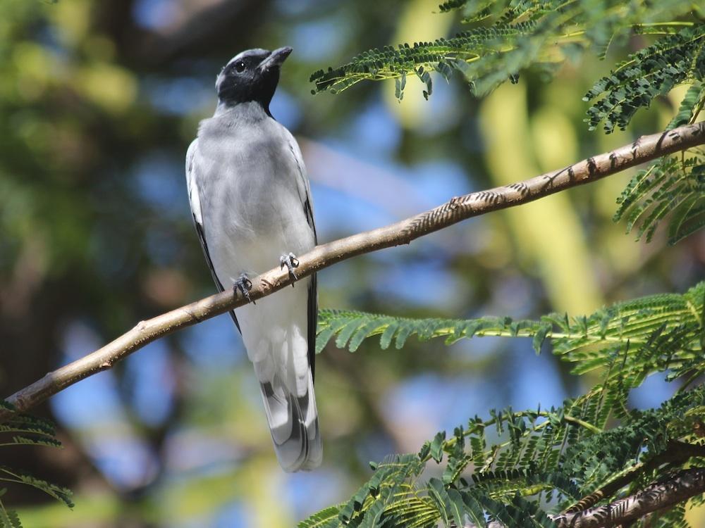 Image of Black-faced cuckooshrike
