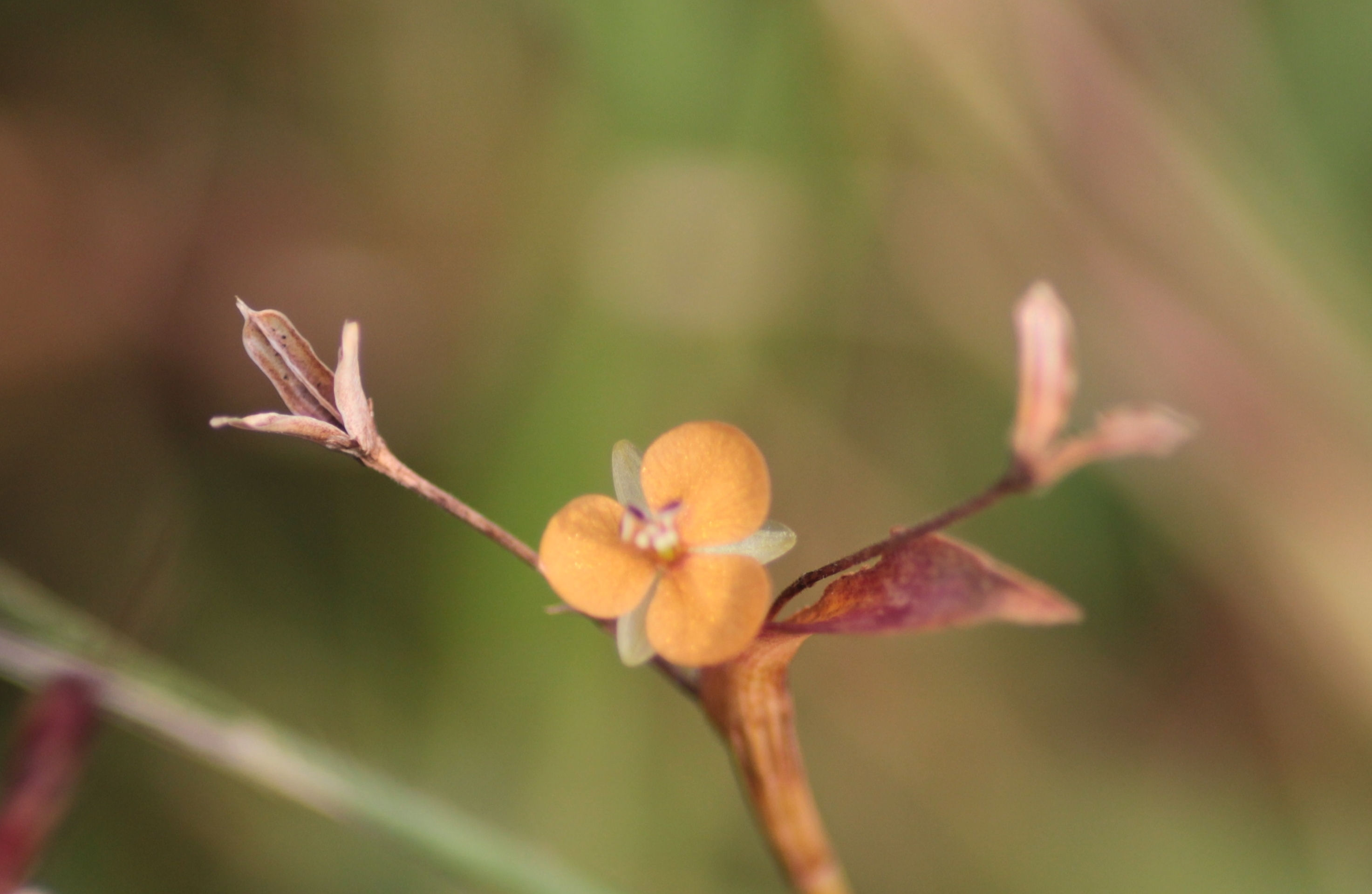 Image of Changing Color Dewflower