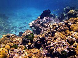 Image of Bahama Unicorn Fish