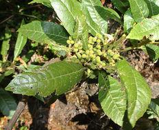 Image of <i>Morella pubescens</i> (Humb. & Bonpl. ex Willd.) Wilbur