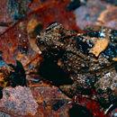Image of Balu Oriental Frog