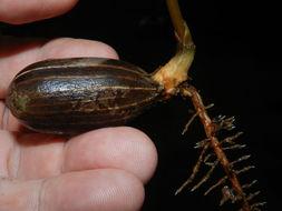 Image of <i>Gnetum leyboldii</i> Tul.