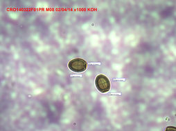 Image of <i>Podaxis beringamensis</i> Priest & M. Lenz 1999