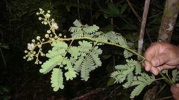 Image of <i>Senegalia olivensana</i> (G. P. Lewis) Seigler & Ebinger