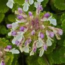 Image of <i>Teucrium pyrenaicum</i> L.
